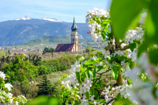 Apple blossom in South Tyrol
